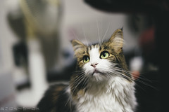 I wanna be loved by you. (miyukiz4 su ood) Tags: cats cat kitten  gttino chaton gatito ktzchen gatinho platinumheartaward littledoglaughedstories coth5