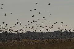 Starling murmuration (Duuj) Tags: murmuration spreeuw starling