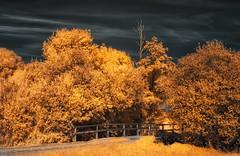 A golden summer (moggafogga) Tags: infrared infrarot pentax filter falsecolor takumara