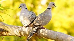 Collared Dove (Navas Peravoor) Tags: collareddove birds nature sonya6000 dubai