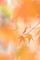 the season....... (Brigitte Lorenz) Tags: leaves maple autumn bokeh soft pastel nature trees