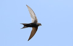 White-rumped swift, Apus caffer, at Suikerbosrand Nature Reserve, Gauteng, South Africa (Derek Keats) Tags: naturereserves apuscaffer birdwatching taxonomy:family=hirundinidae taxonomy:binomial=apuscaffer bird birds birding nature whiterumpedswift naturereserve
