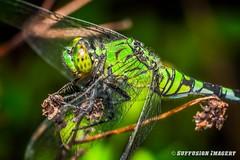 09-24-2015_18.16.36--D700-108-device-2000-wm (iSuffusion) Tags: d700 tampa tokina100mm28macro dragonfly florida insects macro nikon gibsonton unitedstates us