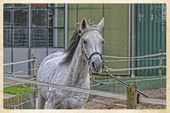 Gaaaan (gill4kleuren - 13 ml views) Tags: anisa hengst horse fun white paard gill together arabier riding beauty pret me outside happy outdoor animal