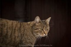mijn kat / my cat (nature photography by 3620ronny.be) Tags: cat kat animals zoogdier zoogdieren huisdier animal
