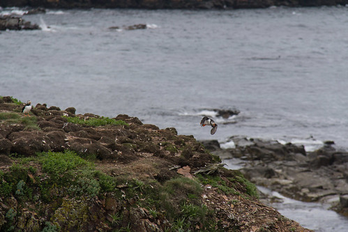 Puffins at Elliston 4