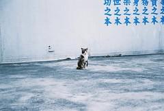 (YL.H) Tags: cat straycat film kodak canon 500n colorplus analogy 底片 貓 blue taiwan 中壢 馬祖新村