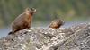Teton National Park (Jeffrey Neihart) Tags: jeffreyneihart jennylake woodchuck river tetons tetonmountains snowcapped snow whitewater wildlife moose highway landscape lake chipmunk groundsquirrel