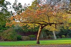 Sakura in November (Caulker) Tags: londo canonspark sakura 13112016