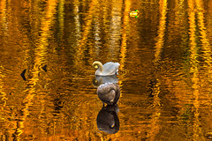 golden lake scene (bocero1977) Tags: autumn duck water birds outdoor lake fall light trees wildlife swan scenic colors animals three gold reflection white