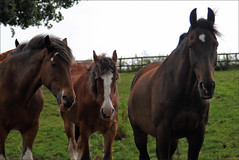 The Three Amigos (meniscuslens) Tags: horse trust charity shire military police buckinghamshire romulus tryfan rocco
