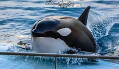 Wikie orca (orcamel30) Tags: orque orca wikie epaulard echouage nikon d7100 55300 comportement behaviors show spectecle representation