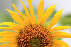 Half sunflower (C. Alice) Tags: flower yellow nature canon eos7d canoneos7d canonef70200mmf4lisusm green saariysqualitypictures favorites50