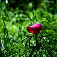 Peonia selvatica - Wild Paeony (giorgiorodano46) Tags: 2016 giugno2016 june nikon peonia paeony paeoniaofficinalis castelluccio sibillini parconazionaledeimontisibillini italy giorgiorodano flower wildflower mountainflower appennino apennines valcanatra umbria castellucciodinorcia pink rosa purple