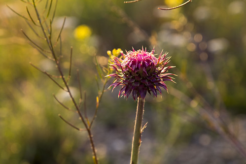 Purple thistle-like prairie flower