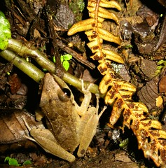 Los Cedros Frog (sphaisell) Tags: night ecuador fb wildlife frog loscedros