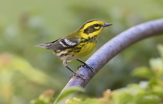 Townsend's Warbler...after the crowds...