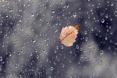 Leaf & drops (andrey.senov) Tags: autumn fall rain leaf drops october fuji fujifilm    xa1   45faves fujifilmxa1