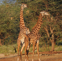 "JHG_6371 (2)-b Here we go again on this safari ! Two Giraffes ""mating"". Only issue is they are BOTH MALE. Tsavo West, Kenya. (GavinKenya) Tags: africa wild west male nature animal june john mammal photography gavin photographer kenya african wildlife july grand safari dk giraffes males giraffe dominance hump tsavo humping naturephotography kenyasafari africansafari 2015 safaris africanwildlife africasafari masaigiraffe johngavin wildlifephotography tsavowest kenyaafrica tsavowestkenya kenyawildlife africagiraffe africagiraffes kenyagiraffes kenyagiraffe dkgrandsafaris africa2015 safari2015 tsavoafrica johnhgavin tsavowestafrica"