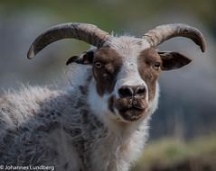 26062015-471.jpg (JohannesLundberg) Tags: sheep bovidae mammalia gl fr grnland ovisaries eutheria ovis artiodactyla caprinae theria caprini tamfr kujalleq