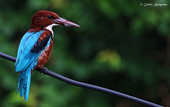 White throated Kingfisher (cedricbraganza) Tags: bird birds canon eos outdoor depthoffield kingfisher ef whitethroated 100400 70d