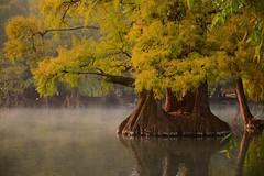 MORNING WALK. (NIKONIANO) Tags: tree water agua eau surreal lagos sabino waterscapes ahuehuete árbol waterenvirons lugaresdemichoacán lagosdeméxico camécuaro tangancícuaro lossabinos camécuaromichoacán árbolesdeagua lugaresdeméxico regiónzamora