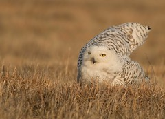 Snowy Owl (The Shared Experience) Tags: winter cold bird arctic raptor d800 snowyowl 2014 sigma50500mmos