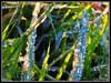 Scintillements de diamants ... (Sev G) Tags: herbe gouttes rosée diamants
