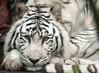 witte tijger Amersfoort JN6A6699 (j.a.kok) Tags: tiger tijger whitetiger amersfoort bengaltiger wittetijger pantheratigristigris bengaalsetijger
