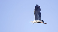 Grey Heron in Flight (Johnnie Shene Photography(Thanks, 1Million+ Views)) Tags: light wild sky people colour heron nature animal animals horizontal photography grey spread living fly flying wings focus scenery long view angle natural image outdoor no wildlife air side low gray scenic tranquility scene theme modified midair limbs flapping distance egret flap tranquil adjustment freshness herons foreground spreading organism  fragility