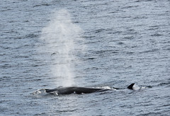 _DSC8202 (TC Yuen) Tags: glacier arctic greenland whales iceberg crusing floatingice polarregion greenlandeast