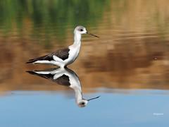 Black-winged Stilt ( Himantopus himantopus ) (diegocon1964) Tags: españa sevilla himantopushimantopus blackwingedstilt cigüeñuela alcaládeguadaíra