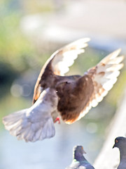 Pigeon's Flapping in the Air (Johnnie Shene Photography(Thanks, 1Million+ Views)) Tags: light wild people brown motion colour macro bird nature animal vertical canon lens photography eos rebel spread fly flying wings focus scenery kiss slow natural image zoom outdoor no pigeon dove wildlife watching birding flight scenic sigma tranquility scene apo full theme midair limbs moment flapping 70300mm length effect flap tranquil freshness dg stationary foreground 456 t3i x5 70300 behaviour stil  fragility 600d f456