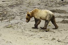 Clam search (Alan Vernon.) Tags: brown bear coastal ursus grizzly arctos horribilis young immature three year cub search hunt hunting clam clams nature wildlife wild mammal american bears omnivore predator shore