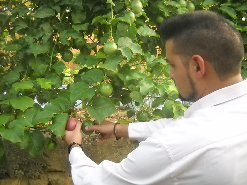 Tamim picking good size Ripe Passion Fruits a Oct 12, 2015