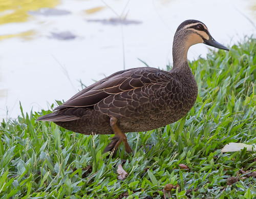 Pacific Black Duck (Anas superciliosa).01
