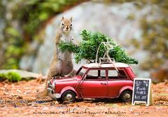 Look dear, I got it on the roof all by myself! (Nancy Rose) Tags: tree car sign squirrel squirel sandwichboard 4214 upickchristmastree wwwsecretlifeofsquirrelscom