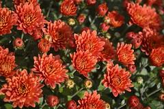 Chrysanthemum (ardaerturk) Tags: november winter red orange fall nature garden chrysanthemum