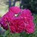 Au jardin, roses de décembre, Bosdarros, Béarn, Pyrénées Atlantiques, Aquitaine, France.