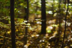 DSC00683 (gabriella.lavati) Tags: sony a6000 schneider kreuznach xenon edixareflexversion m42 50mmf19 manualfocus manual mflens nature spring color forest wood leaves bokeh bokehdream