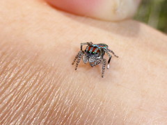 Dream come true (tessab101) Tags: spider maratus volans peacock jumping salticid salticidae lower blue mountains sassafras gully lawsons lookout nsw australia