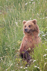 Young Brown Bear Resting in the Grass (* mateja *) Tags: usa northamerica alaska lakeclark nature animal bear mammal brownbear young fauna resting grass summer bearviewing holiday lakeclarknationalparkandpreserve mateja