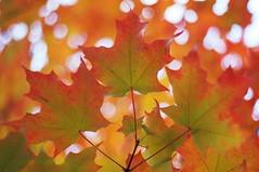 rable  sucre (Patrice StG) Tags: qubec bokeh boisdecoulonge automne autumn fall rable maple feuille leaf leaves feuilles canonfd50mmf18sc
