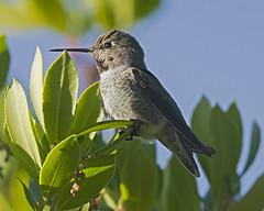Hummingbird In Strawberry Tree (uncle.dee9600) Tags: hummingbird bird strawberrytree annashummingbird calypteanna telephoto nikon nikond7200 arbutus unedo
