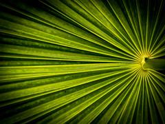 Palmenzweig (olipennell) Tags: botanischergarten mnchen nymphenburg pflanze palme natur blatt leaf
