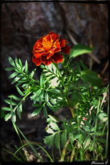 Fin de saison au jardin ... (florence.V) Tags: france hautsdefrance nord 59 salom jardin garden fleur flowers photoshop texture