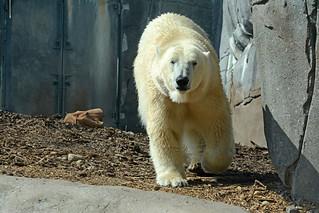 Eisbär Boris (Ivan) im Zoologisk Have i København