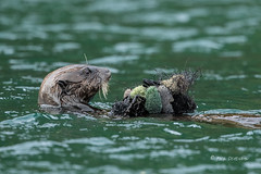 A Feast -- 1 of 3 (Rick Derevan) Tags: alaska kodiak otter seaotter enhyrdalutris kodiak2016 kodiaktrip2016 places