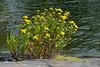 Tanacetum vulgare (Asteraceae) (Vuosaari, Helsinki, 20150729) (RainoL) Tags: 2015 201507 20150729 asteraceae compositae fin finland flower flowers geo:lat=6020976168 geo:lon=2518271327 geotagged helsingfors helsinki july nordsjö nyland pietaryrtti plant plants rosenudden ruusuniemi summer tanacetum tanacetumvulgare uusimaa vuosaari