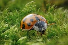 Marienkäfer (Coccinellidae) im Moos (AchimOWL) Tags: marienkäfer postfocus lumix panasonic natur nature käfer insekt insect tier tiere animal makro macro gx80 dmcgx80 raynox lebensmittel ngc macrodreams olympus ladybird